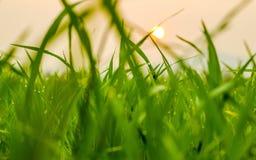 Paddy field Stock Image