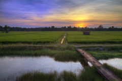 Paddy Field Sunset Landscape Stock Afbeelding