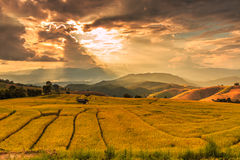 Paddy field in the sunset Stock Photography