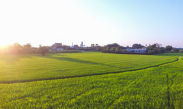 Paddy field. With temple behind Stock Photos