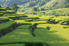 Paddy Field Terraced Foto de Stock Royalty Free