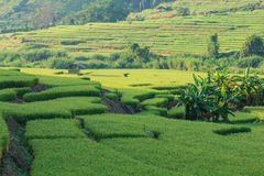 Paddy Field Terraced Foto de Stock
