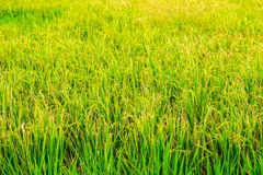 Paddy field of Thai rice with ears of rice Stock Photos