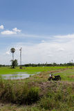 Paddy field in Thailand. Green paddy field with retro-style motorcycle Stock Image