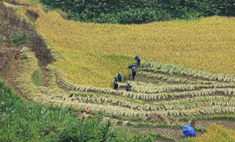 Paddy field in time of harvest Stock Images