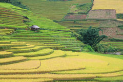 Paddy field on time of harvesting Royalty Free Stock Photos