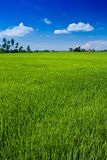 Paddy field with yet to ripen grain and blue sky Royalty Free Stock Photography