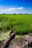 Paddy field with yet to ripen grain and blue sky Stock Image