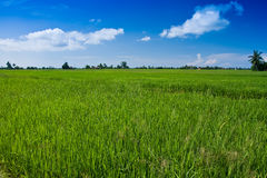 Paddy field with yet to ripen grain and blue sky Stock Photos