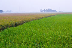 Paddy Field Two colors in Country Stock Image