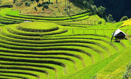 Paddy field under the sunlight Royalty Free Stock Photography