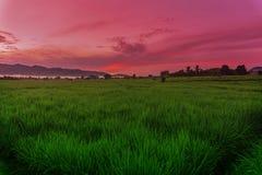 Paddy Field Under Sunrise verde imagen de archivo libre de regalías