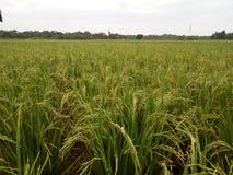 Paddy Field vått ris, risfält royaltyfri fotografi