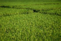 Paddy field with vanishing point, abstract composition, green nature concept background Royalty Free Stock Photos
