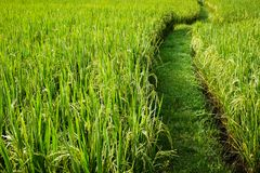 Paddy field with vanishing point, abstract composition, green nature concept background Stock Images