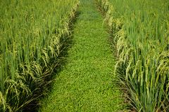 Paddy field with vanishing point, abstract composition, green nature concept background Stock Photo