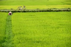 Paddy field, Vietnam. Person and bike in green paddy field in Vietnam Stock Images
