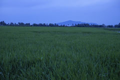 Paddy field view with a Jerai Hill background. In Malaysia Royalty Free Stock Image