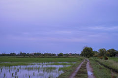 Paddy field view with a Jerai Hill background. In Malaysia Royalty Free Stock Photography