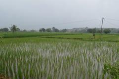 Paddy field, Hyderabad, India royalty free stock photo