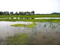 A paddy field in a village in Assam. A paddy field filled with water royalty free stock photo