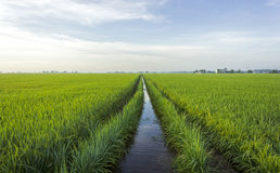 Paddy field. Water channel at paddy field royalty free stock image