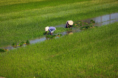 Paddy field and wet rice planting in Vietnam. Paddy field and two women in traditional straw hat, wet rice planting in Vietnam Royalty Free Stock Photography
