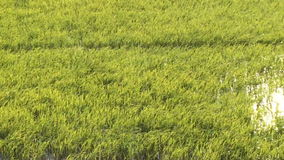 Paddy field with windy blowing stock video
