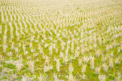 Paddy field in winter Stock Image