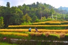 Paddy field. Yellow paddy field with two farmer harvesting Royalty Free Stock Photography