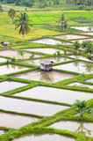 Paddy fields Royalty Free Stock Photography