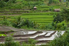 Paddy fields. BALI - JANUARY 24. Rice farmers caring for their paddy fields on January 24, 2012 in Bali, Indonesia. Indonesia is currently the world's third Stock Photography