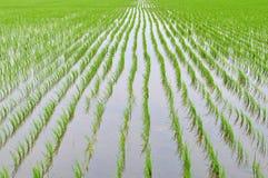 Paddy fields Stock Image