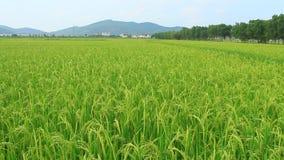 Paddy fields. The paddy fields,paddy fields stock video footage