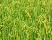 Paddy fields. The paddy fields,paddy fields stock footage