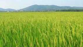 Paddy fields. The paddy fields,paddy fields stock video