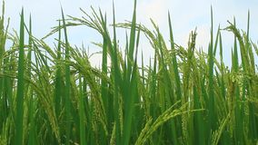 Paddy fields. The paddy fields stock video