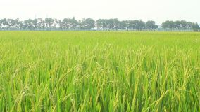 Paddy fields. The paddy fields stock footage