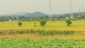 Paddy fields. The paddy fields stock video footage