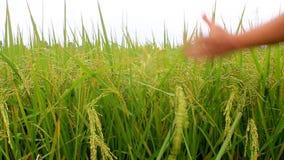 Paddy fields. The paddy fields , paddy fields stock footage