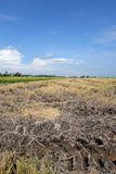 Paddy fields in Asia after harvest Stock Photos