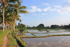 Paddy fields on Bali Stock Photography