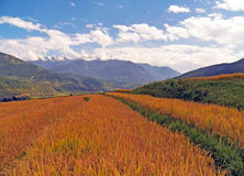 Paddy Fields in Bhutan Royalty-vrije Stock Fotografie