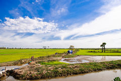 Paddy Fields in Cambodia Royalty Free Stock Photo
