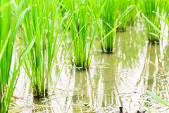 paddy fields Stock Photos