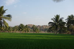 Paddy fields and coconut trees Stock Photos