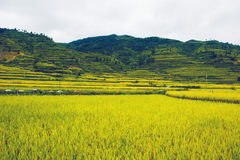 Paddy fields in the country Royalty Free Stock Photography