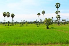 Paddy Fields in Green Color with Palm Trees and Cloudy Sky stock images