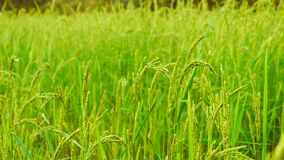 Paddy Fields from Kalaw Royalty Free Stock Photo