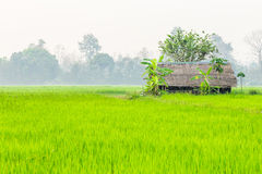 Paddy fields. And the hut Royalty Free Stock Image